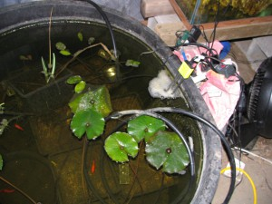 Temporary greenhouse heating return tank, with fish and young plants